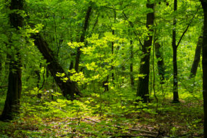 Small young maple tree in the Oak forest in the summer in Germany