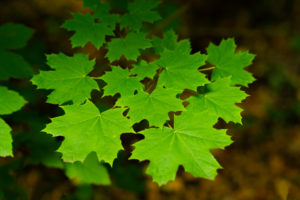 Leaves of a young maple tree in the summer in Germany