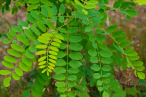 Leaves on a young Locust tree in the summer in Germany