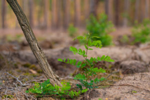 Small young locust tree in a pine forest
