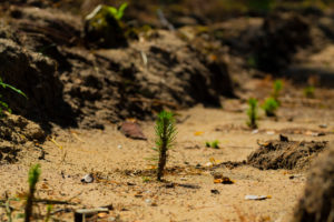 young, newly planted pine trees in the forest in Germany