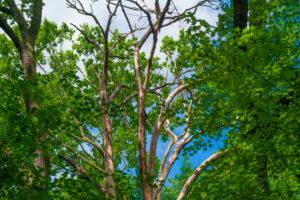 Big old dead oak tree in an oak forest