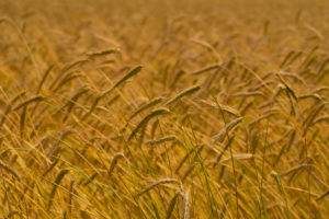 ears of grain in the summer