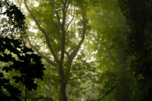 wet forest in the early Morning in the summer, with light fog in the tree tops