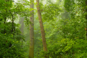 wet forest in the early Morning in the summer, with light fog in the Background