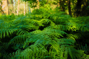 Green fern in the summer in the forest