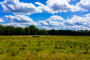 Agricultural area on a sunny day in summer with big clouds, Herd of cows in the Background