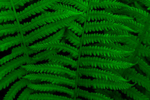 Green fern in the summer in the forest (M)