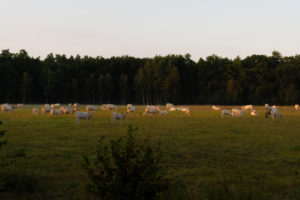 Cows on a Meadow at sunrise in summer