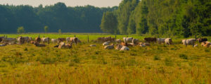 Cows on a Meadow at sunrise in summer,Panorama