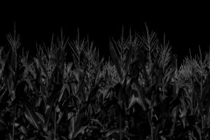 Corn field just before harvest in the summer in black and white