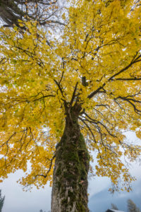 Germany, Bavaria, Garmisch-Partenkirchen, maple tree in autumn