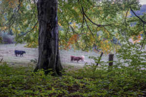 Germany, Saxony-Anhalt, Ilsenburg, cattle on a pasture in autumn