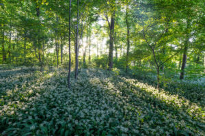 "Germany, Saxony-Anhalt, Quedlinburg, wild garlic bloom in the park ""Brühl"" in the evening"