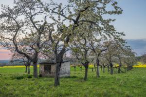 Deutschland, Sachsen-Anhalt, Wernigerode, Blühende Kirschbäume vor Rapsfeld am Abend
