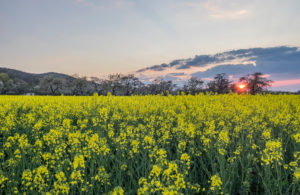 Germany, Saxony-Anhalt, Wernigerode, flowering cherry trees and rape field in the evening