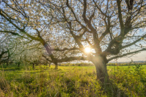 Deutschland, Sachsen-Anhalt, Wernigerode, Blühende Kirschbäume am Abend