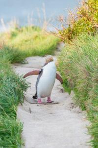 Gelbäugiger Pinguin (Megadyptes Antipoden) in Bewegung, Otago, Südinsel, Neuseeland,