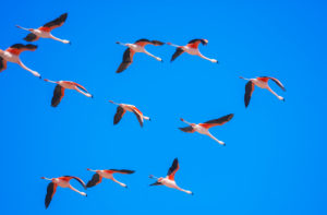 Chilean flamingoes (Phoenicopterus chilensis) in flight, Torres del Paine National Park, Chile, South America