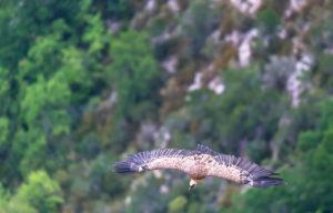 Griffon vulture (Gyps fulvus) gliding over Verdon Gorge, Alpes de Haute Provence, Provence, France, Europe