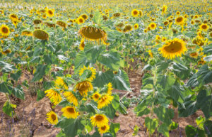 Sunflowers, Alpes de Haute Provence, Provence, France, Europe
