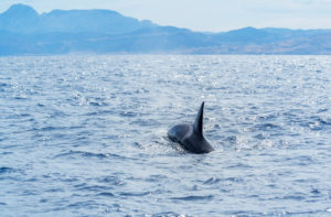Killer Whales (Orcinus orca) swimming in the strait of Gibraltar,  Andalusia, Spain, Europe