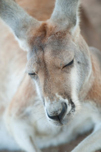 Eastern grey kangaroo (Macropus giganteus) sleeping, Lone Pine Koala Sanctuary, Brisbane, Queensland, Australia