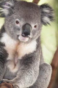 Koala sitting on eucalyptus tree branch, Brisbane, Queensland, Australia