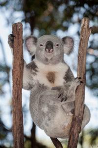 Koala (Phascolarctos Cinereous) resting on branches tree, Brisbane, Queensland, Australia
