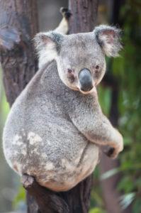 Koala (Phascolarctos Cinereous), Brisbane, Queensland, Australia