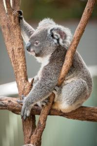 Koala (Phascolarctos Cinereous) resting in tree, Brisbane, Queensland, Australia