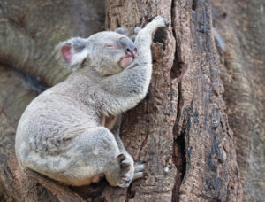 Koala (Phascolarctos Cinereous) resting on a tree, Brisbane, Queensland, Australia