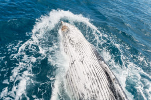 Humpback whale (Megaptera novaeangliae) breaching, Hervey Bay, Queensland, Australia, Pacific