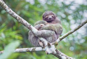 Three-toed sloth (Bradypus variegatus) sitting on a tree,  Costa Rica, Central America