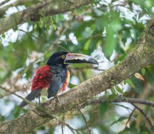 Collared Aracari (Pteroglossus torquatus), Costa Rica, Central America