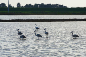 Flamingos in a swamp (phoenicopterus ruber), Pachino WWF National Park, Trapani, Sicily, Italy