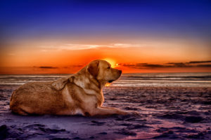 Netherlands, Holland, dog is lying on the beach on the West Frisian island of Texel, Province of North Holland, sunset,