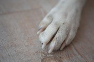 Hundepfote