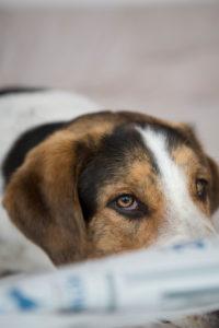Mischlingshund mit Zeitung, Portrait
