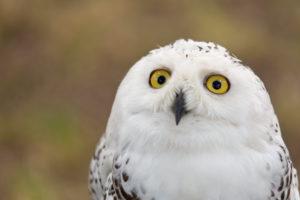 Snowy Owl, near Dusseldorf, North Rhine-Westphalia, Germany, Bubo scandiacus