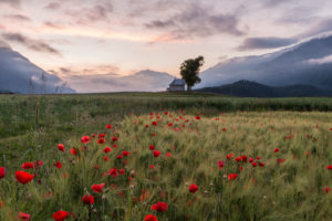Morning mood on the poppy seed field