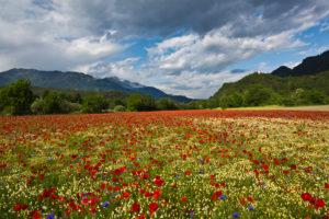 Poppy field at Domat/Ems in Switzerland