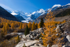 Golden yellow larches in the Morteratschtal (valley) near Pontresina in contrast with the eternal ice of the Bernina massif, canton of Grisons, Switzerland,