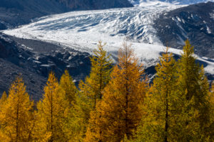 Golden yellow larches and the ice of the Morteratsch glacier characterize the landscape in the Morteratschtal (valley) near Pontresina, canton of Grisons, Switzerland