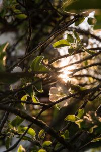 Frühling, blühender Apfelbaum