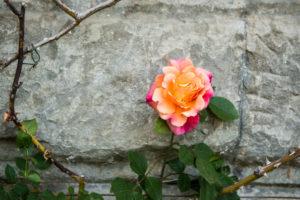 Rosen auf der Insel Mainau, Bodensee