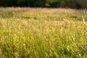 Spring meadow in May, hay fever, allergy, grass, meadow