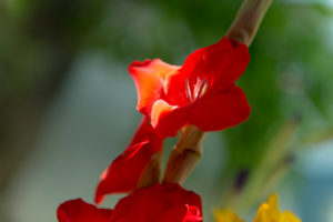 red gladiolus, detail, petals, flower