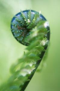 junger Farnwedel, Blattaustrieb, Straußenfarn, Matteuccia struthiopteris, Nahaufnahme,