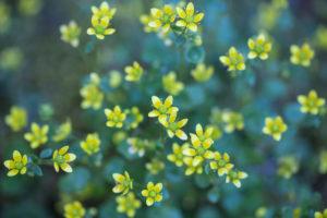 zierliche Blüten eines Steinbrechgewächses, Saxifraga, Nahaufnahme,